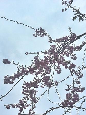 テラスの枝垂れ桜